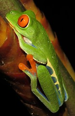 Agalychnis callidryas (Birdernaturalist) Tags: anura costarica frog herp richhoyer