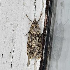 Diurnea fagella (AndyorDij) Tags: diurneafagella nationalmothweek lepidoptera insect moth andrewdejardin england empingham empinghammoths rutland uk unitedkingdom