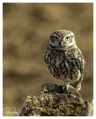 little sentry (richgparkes) Tags: owl little bird nature wildlife spring brown