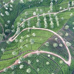 Through the ceylon tea trails (Chamikajperera) Tags: tea sri lanka ceylon plantation mavic dji drone aerial winding road