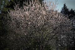20190326a73_6360 (Gansan00) Tags: lce7m3 α7ⅲ sony zeiss japan 山口県 yamaguchi 日本 landscape snaps ブラリ旅 3月 錦町 菜の花