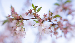 Soon Gone (suzanne~) Tags: cherryblossom flower blossom pink tree branch spring sol45 lensbaby
