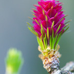 the larch thumbnail