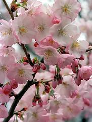 "Cincinnati - Spring Grove Cemetery & Arboretum ""Pink Crabapple Blooms"" (David Paul Ohmer) Tags: cincinnati ohio spring grove cemetery arboretum flowers blooms pink crabapple"