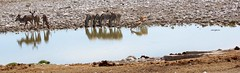 Drinking water (sacipere) Tags: etosha namibia waterhole kudu zebra impala