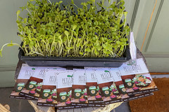 """Das vegan Restaurant """"Petit Brot"""" verteilt Flyer und wirbt mit glutenfreier Rohkost, vor einer Schale mit frischer Kresse, in Barcelona (Spanien)"""