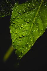 Gotas (Naxxox24) Tags: chile chilevsco nikontelephoto nikonphotografy nikkor nikonlovers nikon50mm nikontop chileno biobio gotas hoja lluvia sol naturaleza natura nature nikon nikond3400