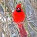 Cardinalis cardinalis (northern cardinal) 19