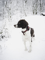 25W_8948 (Ian C. Robinson) Tags: snow english springer spaniel dog puppy pet photography gundog shooting fieldsports petphotography englishspringer springerspaniel gundogphotography