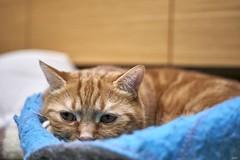 A9__DSC3127_C1 (Bazoka+Cynthia) Tags: cat alpha 小婆 新北市 樹林區 貓