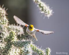 Arizona - Verdin (2 of 2) (dbking2162) Tags: wildlife nature nationalgeographic birds bird beautiful beauty eyes flight verdin yellow cactus arizona animal explore