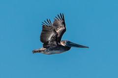 Brown Pelican in Flight (SCSQ4) Tags: bird birdinflight bolsachicaecologicalreserve brownpelican california huntingtonbeach pelican