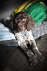 Tater_1 (DustinGinetz.Photography) Tags: german short haired pointer puppy gsp cute small little pup pupper paws