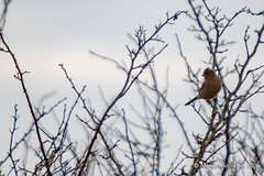 Chaffinch (Ashley Middleton Photography) Tags: inglesham riverthames animal bird chaffinch england europe finch perchingbird river unitedkingdom wiltshire
