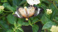 2019-02-11_12-46-43_ILCE-6500_DSC02831 (Miguel Discart (Photos Vrac)) Tags: 177mm 2019 animal animalphotography animals animalsupclose animaux butterfly chiangmai e18135mmf3556oss fleurs flowers focallength177mm focallengthin35mmformat177mm holiday ilce6500 iso1000 nature naturephotography papillon pet sony sonyilce6500 sonyilce6500e18135mmf3556oss thailand thailande travel vacances voyage
