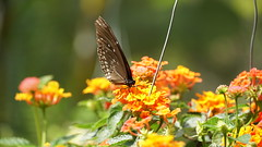 2019-02-11_12-46-59_ILCE-6500_DSC02833 (Miguel Discart (Photos Vrac)) Tags: 177mm 2019 animal animalphotography animals animalsupclose animaux butterfly chiangmai e18135mmf3556oss fleurs flowers focallength177mm focallengthin35mmformat177mm holiday ilce6500 iso160 nature naturephotography papillon pet sony sonyilce6500 sonyilce6500e18135mmf3556oss thailand thailande travel vacances voyage