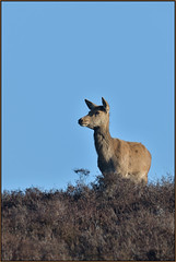 Red Deer (image 2 of 3) (Full Moon Images) Tags: dunwich heath nt national trust wildlife nature reserve animal mammal red deer