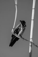 Crow (Rawtalents.se) Tags: crow birds feathers black white bw bwphotography bwphoto photography animal animales πουλί poulí pájaro cuervo ornitología ornitologi ornis ornithology birdwatching birdphoto photo