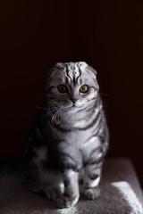 I am Ica (n8fire) Tags: fujixt3 fujinonxf56mmf12rapd ica scottish fold cat