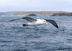 White-capped Albatross (Greg Miles) Tags: whitecappedalbatross halfmoonbay stewartisland rakiura newzealand thalassarchesteadi