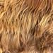 scottish bull fur