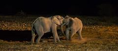 Okaukuejo Waterhole II (jameshjschwarz) Tags: africa afrika elefant elephant etosha etoshanationalpark leicadgmacroelmarit2845 lumixgh2 m43 mft okaukuejo safari wasserloch waterhole