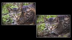 Gremlin college (Ke7dbx) Tags: cats cat catanimal catdefinition catscute kitty kittycat meow pet pets petme animals animalphotography animalphoto gremlin gremlins sonya7 sony a7 mirrorless fillframe tabby tabbycat cute cuteness