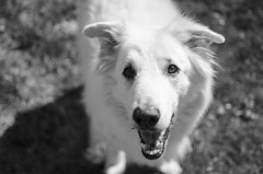 Old Soul (aaron_gould) Tags: home outside nikkor white art dog portrait bw spring new blackandwhite old 35mm d7000 bokeh