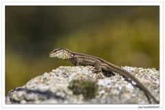 Reptiles en Alsace : le dragon des collines ! (C. OTTIE et J-Y KERMORVANT) Tags: nature animaux reptiles lézards lézarddesmurailles alsace france