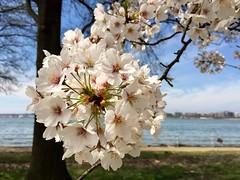 Cherry Blossoms 2019 (Mr.TinDC) Tags: dc washingtondc cherryblossoms trees blossoms cherrytrees dcist popville hainspoint