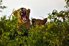 Yawn (pbr42) Tags: africa uganda queenelizabethnationalpark nationalpark nature outdoor
