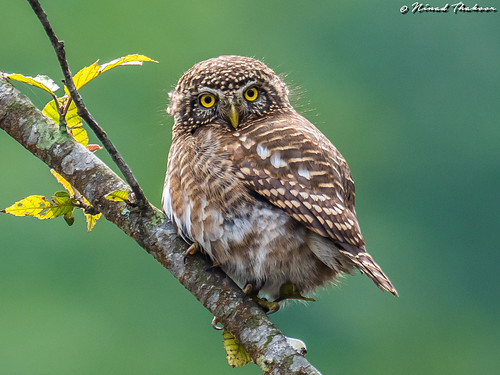 """Collared Owlet (Lifer) • <a style=""""font-size:0.8em;"""" href=""""http://www.flickr.com/photos/59465790@N04/32636107677/"""" target=""""_blank"""">View on Flickr</a>"""