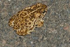 Crapaud calamite. (Jean-Baptiste Ornithologie) Tags: crapaud calamite amphibien nature animaux