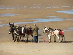 Blackpool Donkeys (deltrems) Tags: blackpool donkeys beach fylde coast lancashire sand