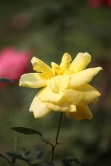 Yellow Rose at Garden (arif.bsl14) Tags: flower flowers rose roseflower blooming bud bloom natural nature macro closup