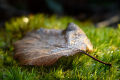 Fallen (Rico the noob) Tags: 200mm 200mmf4 d850 nature macro grass travel finland published bokeh leaves outdoor closeup 2018 dof ice