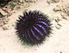 Acanthaster planci (kmlk2000) Tags: maldives vacation sea ocean sealife sun blue underwater fish poisson beach reef