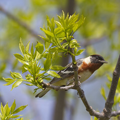 Spring Greeting (maryanne.pfitz) Tags: baybreastedwarbler setophagacastanea male songbird bird migrant wildlife nature migration spring breedingplumage perched foragingforbugs newleaves leaves branches trees woods horiconmarshnwr dodgecounty waupun wisconsin map97314 maryannepfitzinger
