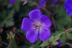 Geranium Blue Blood    Boyer Paris Saphir 50 mm F 3.5 (情事針寸II) Tags: マクロ撮影 自然 花 purple oldlens bokeh macro nature fleur flower geraniumblueblood boyerparissaphir50mmf35