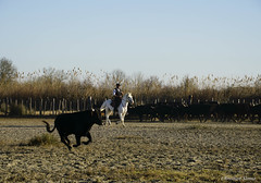 _DSC0630 (chris30300) Tags: camargue cheval