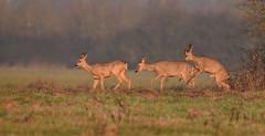 tentative (Guillaume Dardant) Tags: nature sauvage animaux mammifères loiret d810 nikon 500mmf4 chevreuil brocard chevrette roedeer capreoluscapreolus ree affût