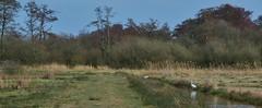 Polder Ten Cate - Wapserveen (Dr) (henkmulder887) Tags: poldertencate wapserveen wapserveenscheaa zwdrenthe drenthe polder natuurgebied transitie sbb zilverreiger orchidee gans buizerd broedseizoen vaart vis bos