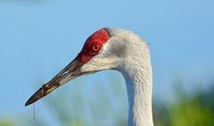 Sand Hill Crane Porttrait (Rassilonphotography) Tags: crane sandhill red bird florida circle b eye portrait elegant nature