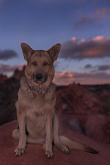 Liesl (Cruzin Canines Photography) Tags: animal animals canon canoneos5ds canon5ds canine 5ds eos5ds dog dogs pet pets gardenofthegods outdoors nature naturallight naturepreserve colorado coloradosprings gsd germanshepherd shepherd liesl sky clouds sunset sundown cute funny