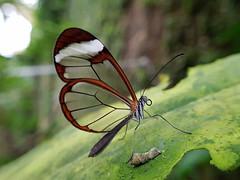 GRETA OTO (Pedro Muñoz Sánchez) Tags: greta oto mariposa nature butterfly macro