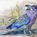 Lilac Breasted Roller-Postcards for the Lunch Bag