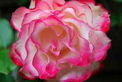 Mein Erlöser, auch für mich (amras_de) Tags: rose rosen ruža rosa ruže rozo roos arrosa ruusut rós rózsa rože rozes rozen roser róza trandafir vrtnica rossläktet gül blüte blume flor cvijet kvet blomst flower floro õis lore kukka fleur bláth virág blóm fiore flos žiedas zieds bloem blome kwiat floare ciuri flouer cvet blomma çiçek