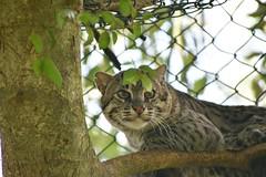 Fishing cat (Praveen Banneka) Tags: cat bigcat big fishing fishingcat zoo srilanka yala colombo asia anuradhapura southasia net handun diviya kola brave posing shy leaf green sad cute