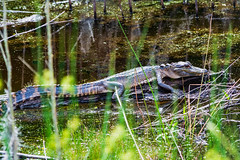 Where is your mother? (Brian Out and About) Tags: nikon d5200 brianblair2019 ngc nature alligator wildlife savannah