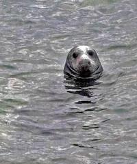 Curious seal (Gill Stafford) Tags: gillstafford gillys image photograph wales northwales conwy little orme penrhynbay rhosonsea seal greyatlantic wild colony angelbay mammal